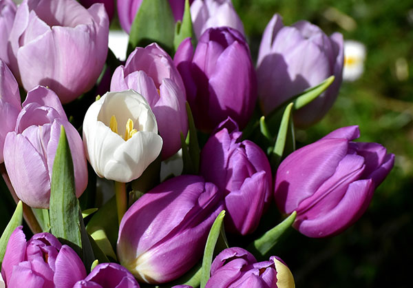 Purple Tulips and a Pandemic